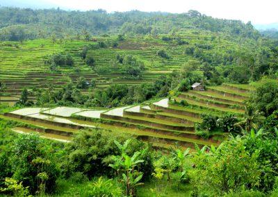 Bali - Reisfelder